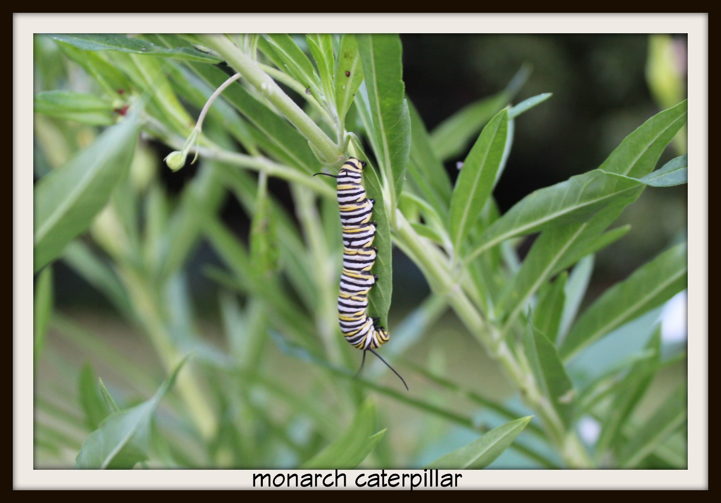 Monarch, Caterpillar, Hairy Balls, Tropical Milkweed