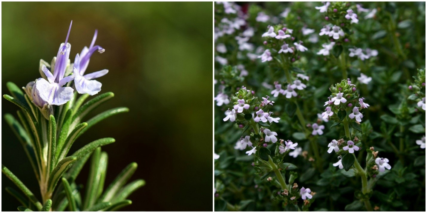 Rosemary and Thyme – Grow Cooking Staples