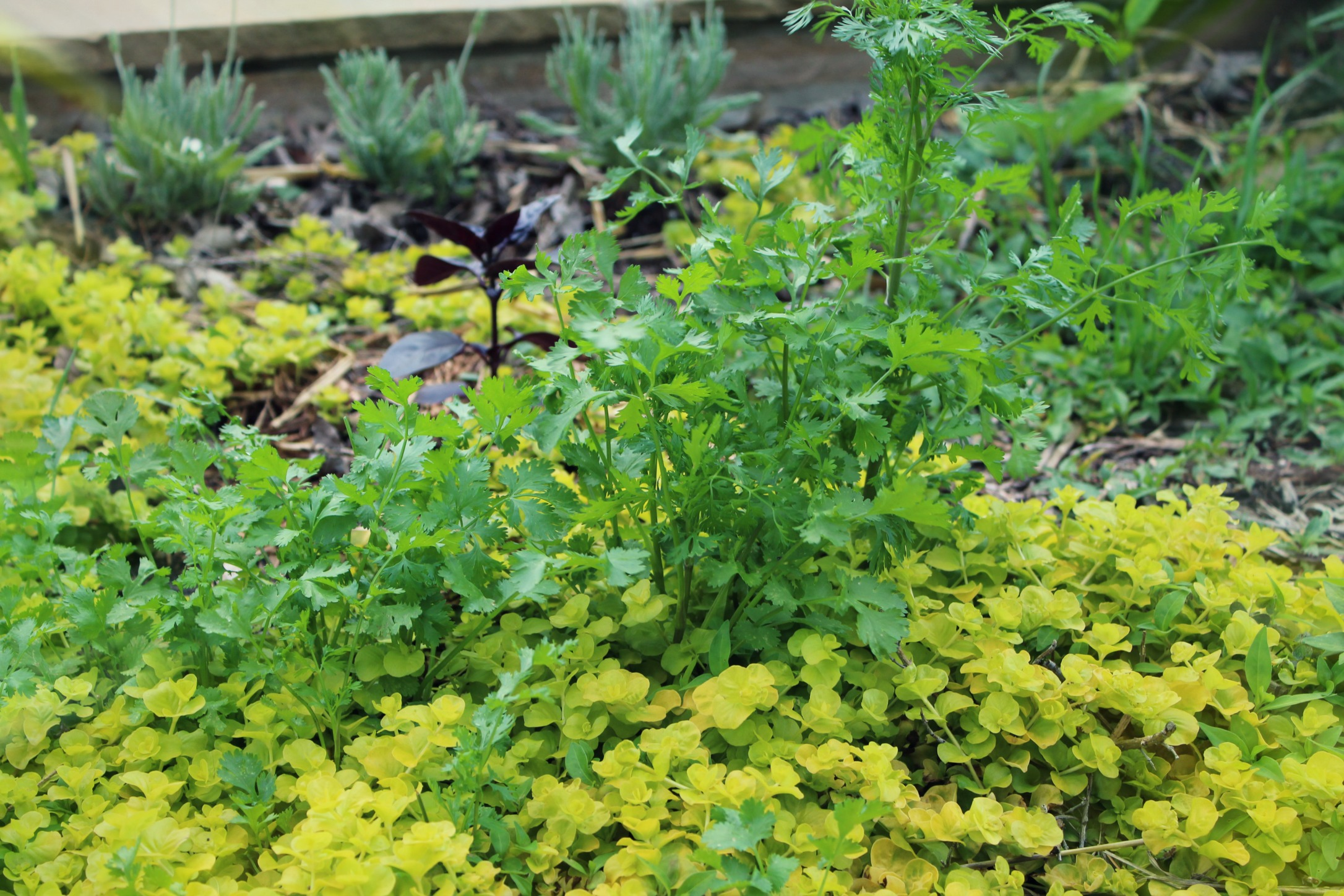 Cilantro growing in the herb garden from last years seeds