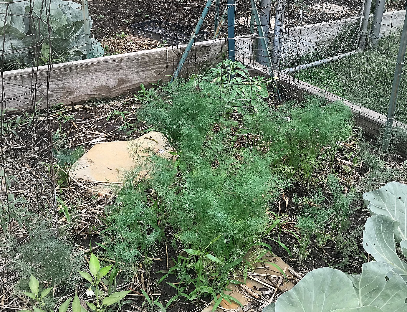 Reseeded Dill in the garden