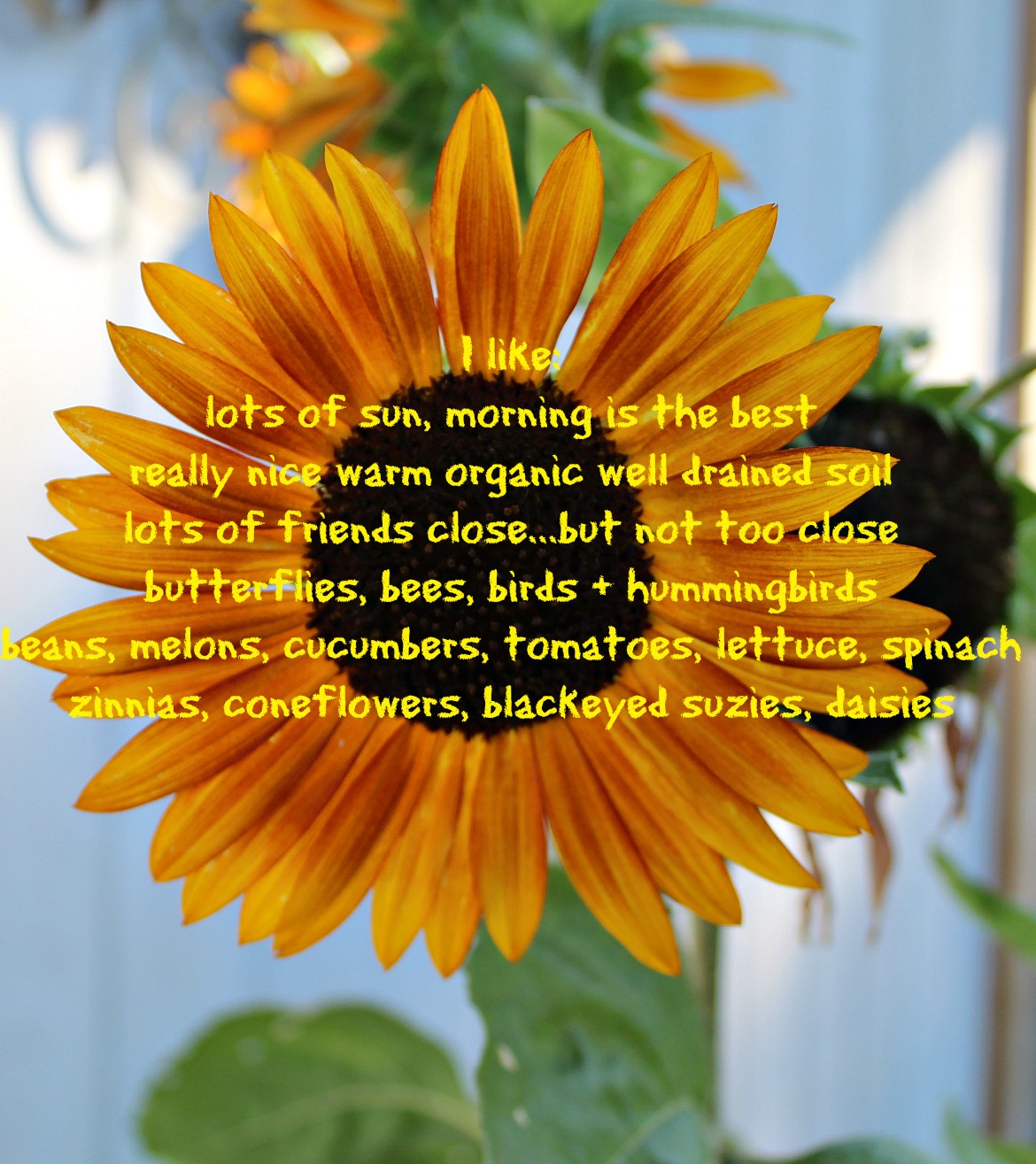 Easy No Fuss All Smiles SunFlowers!