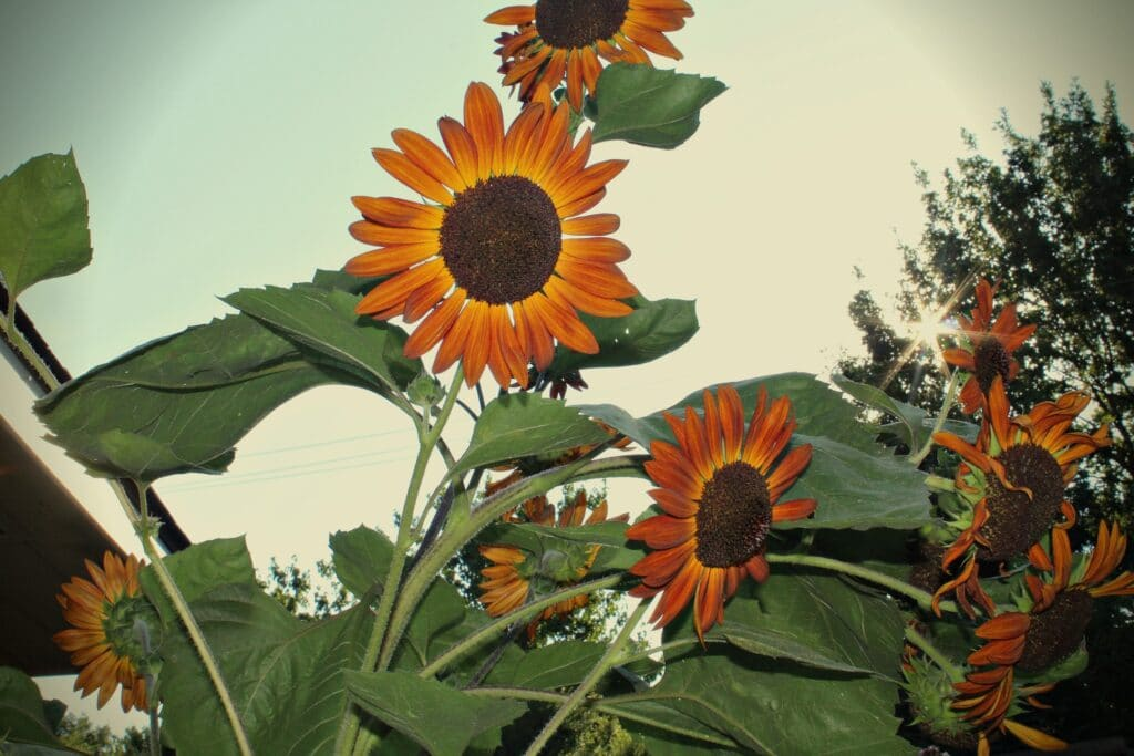 a close up of a bunch of sunflowers at dusk