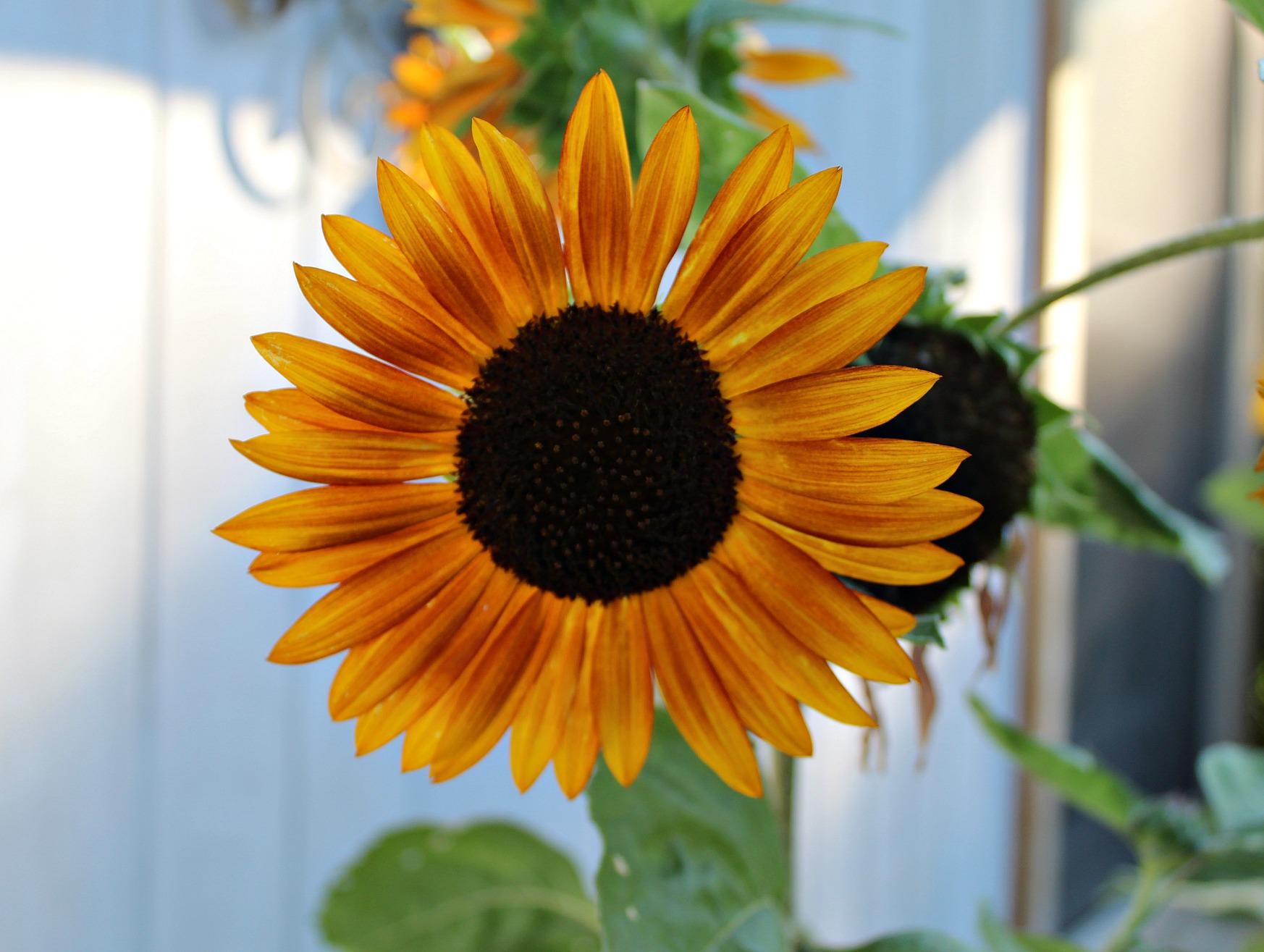 single dark yellow and orange sunflower