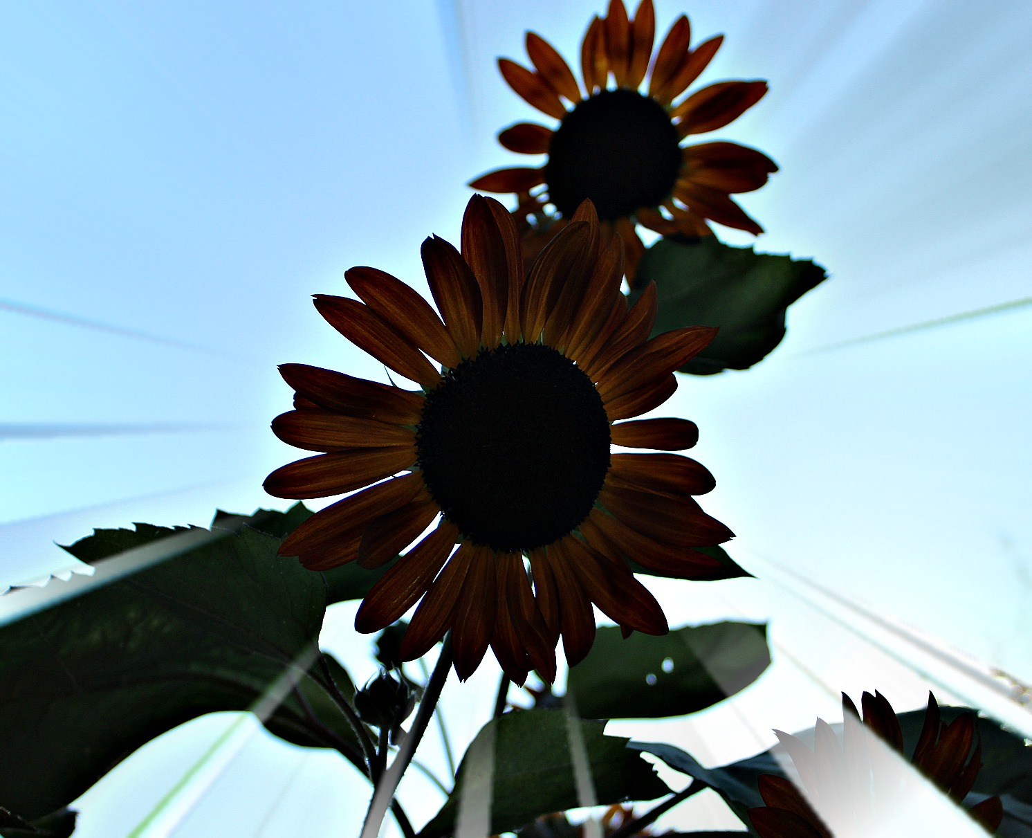 two sunflowers at dusk with sunrays behind them