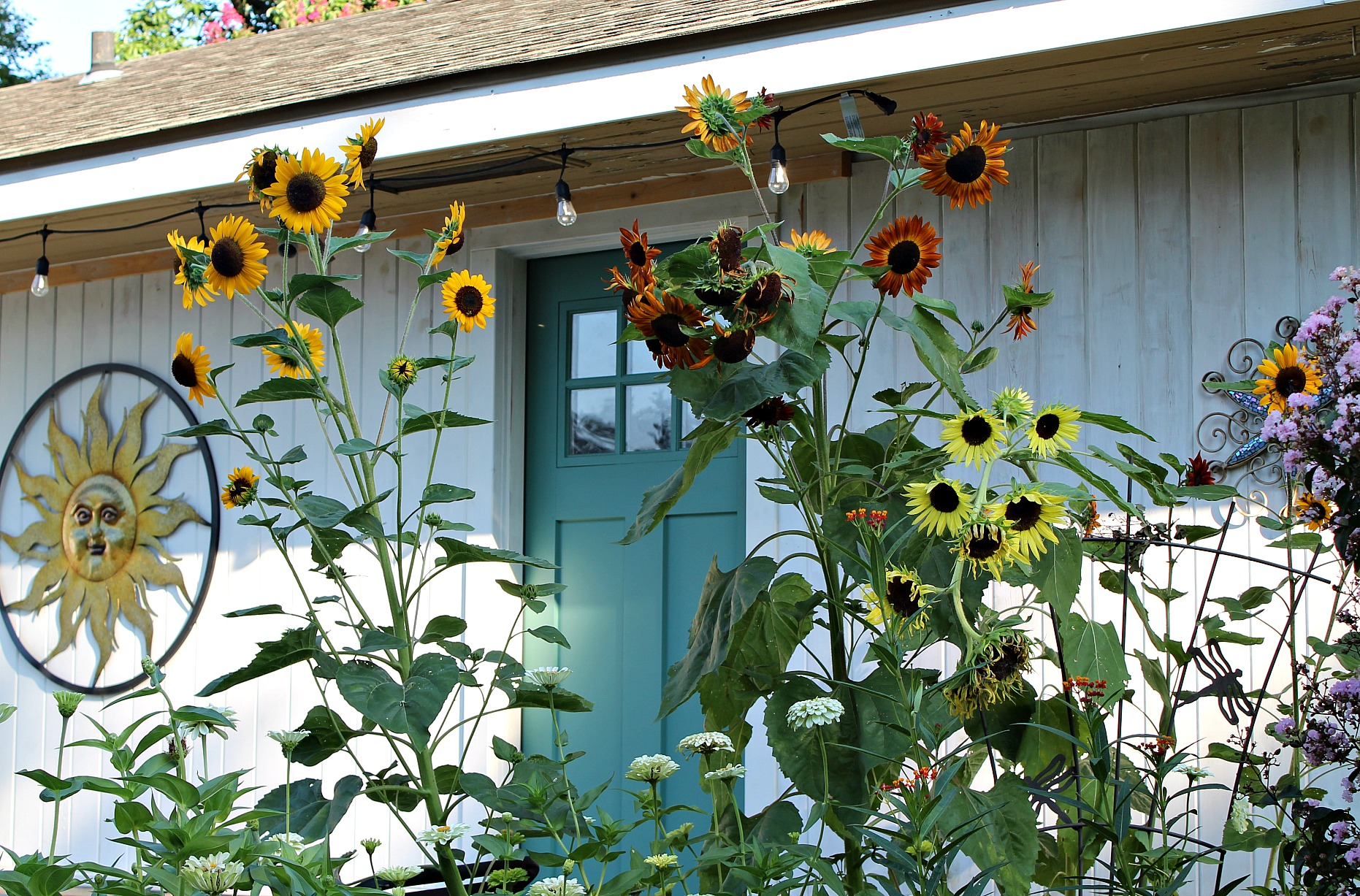 a variety of sunflowers outside in the backyard garden