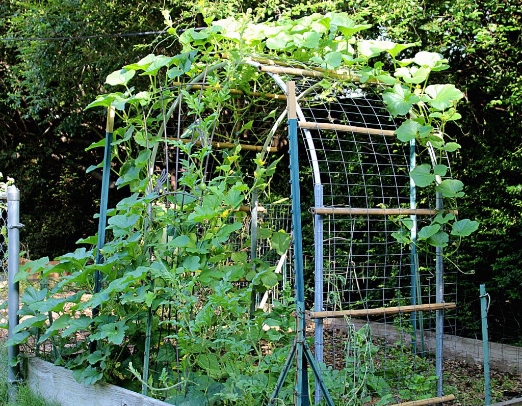 cantaloupe vine on bamboo wire trellis