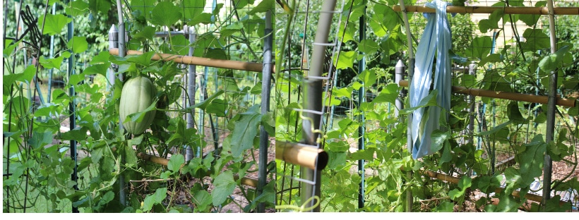 Cantaloupe vine with large fruit hanging from trellis and with a sling to keep it from dropping