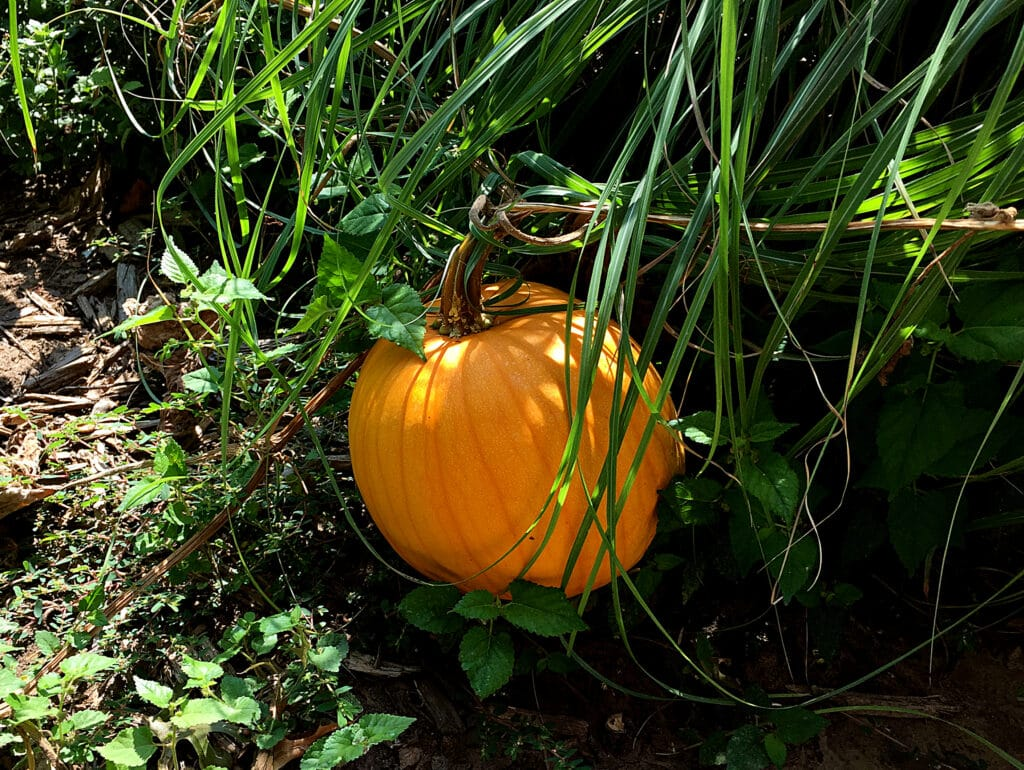 surprise pumpkin from composting last years pumpkin in front yard